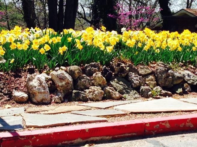 8ea16-daffodils