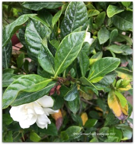 Gardeniapot