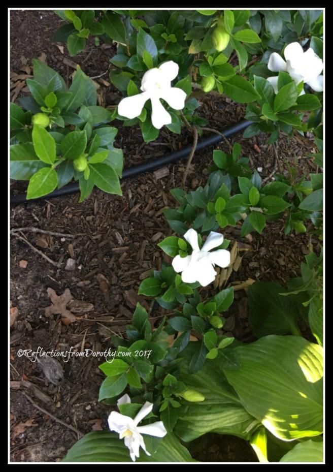 Gardeniaslots