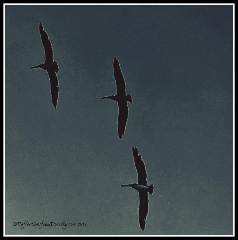 PelicanMorning